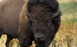 Brucellosis-Yellowstone Bison
