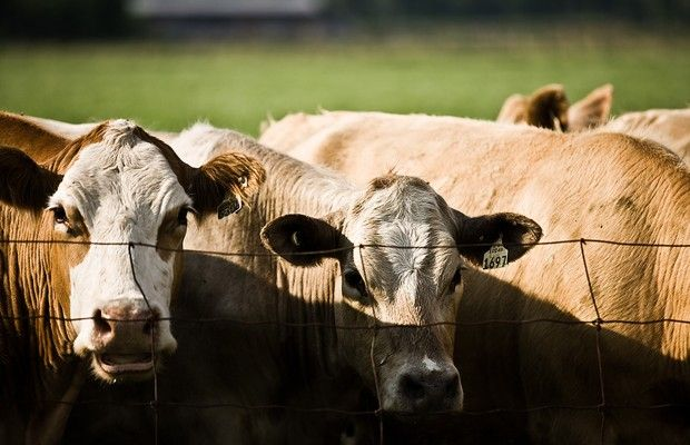 Latest Cattle on Feed Report