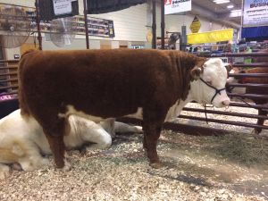 The Grand Champion Hereford Bull, consigned by Sellman Ranch.