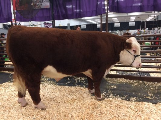 Champion Hereford Bull, K ROCK 707 ET