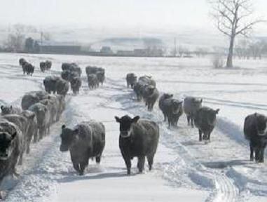 A sustained cold snap in North Dakota is costing some ranchers thousands of dollars and is stressful for their cattle, especially as calving season approaches