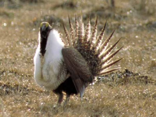 Sage Grouse Scuttle
