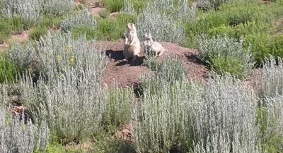 GFP-Prairie Dog Control Available